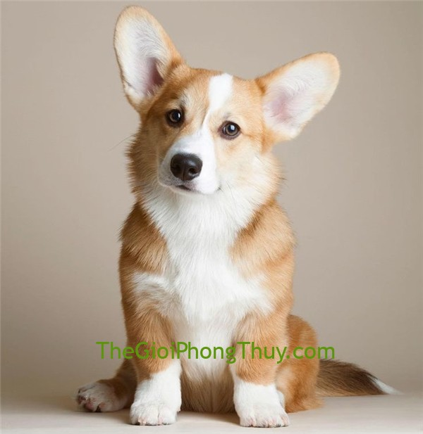 20170727-115418-bfb6192a36bb33728209ac1040f2f574-pembroke-welsh-corgi-dog-training_600x617